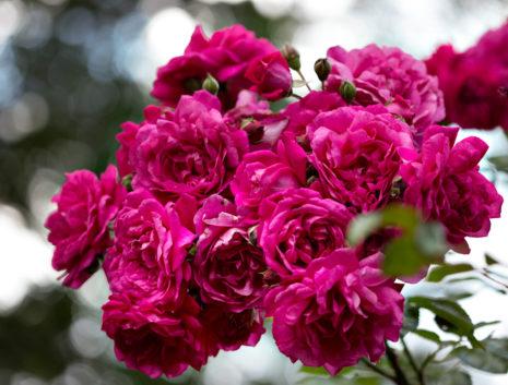 Лагуна розы