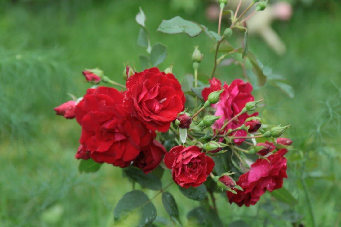 Розы кандской селекции