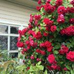 Самые зимостойкие розы неукрывные. Какие розы самые неприхотливые и зимостойкие