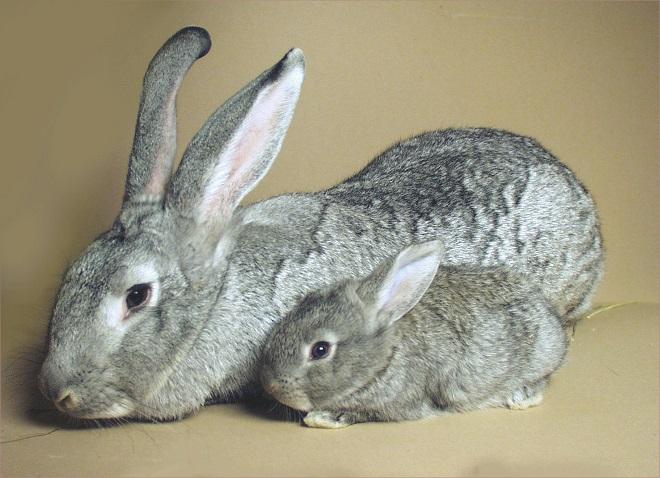 сколько крольчиха вынашивает крольчат
