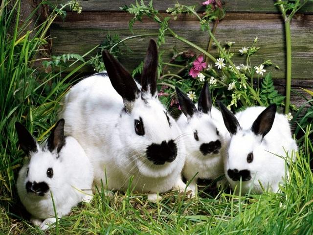 период беременности у кроликов