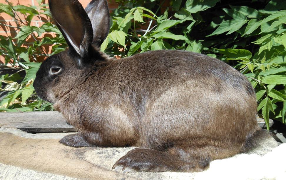сколько крольчат рожает крольчиха за один раз