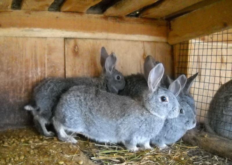 крольчиха ходит беременная